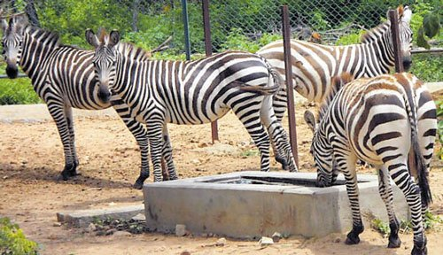 Catch a glimpse of zebras from Israel at BBP soon