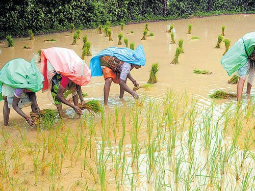 Farming picks up pace as rains hit Dakshina Kannada district