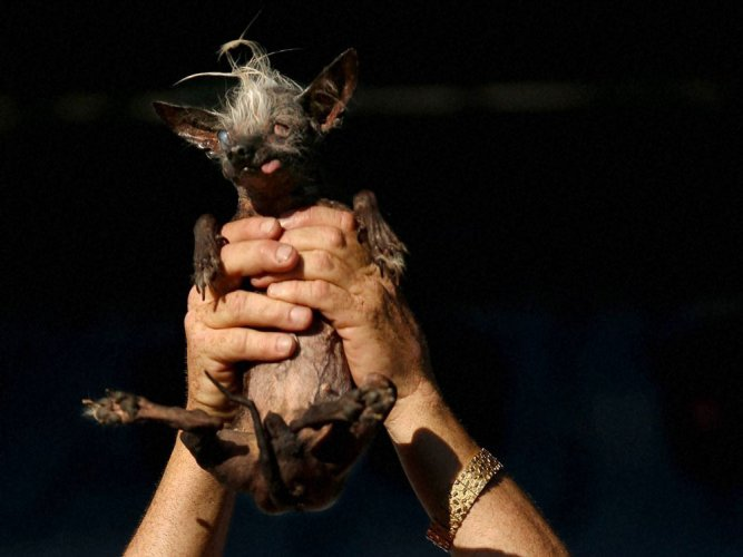Meet the World's Ugliest Dog-- blind, bow-legged SweePee Rambo
