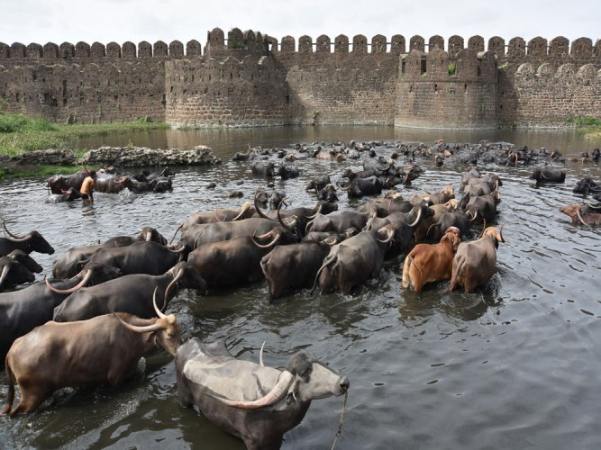 Indian buffalo meat not competitive to US market