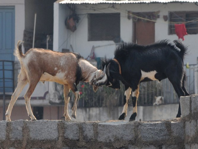 Goats can communicate with humans like dogs: study