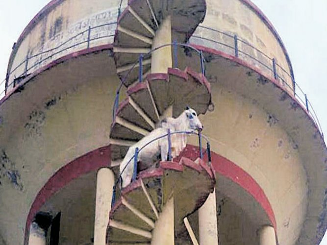 Bull does a Veeru, climbs atop water tank in Rajasthan