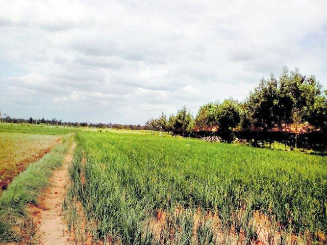 Rain deficit clouds farmers inKadur