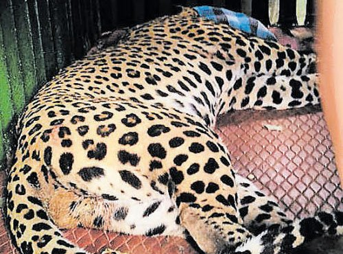 Leopard caught in snare, rescued at Kaggalipura