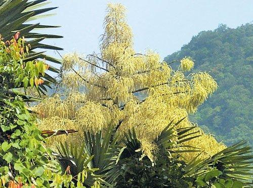 The uniqueness of talipot palm