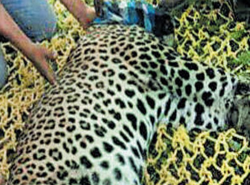 Captured leopard found dead in Anekal