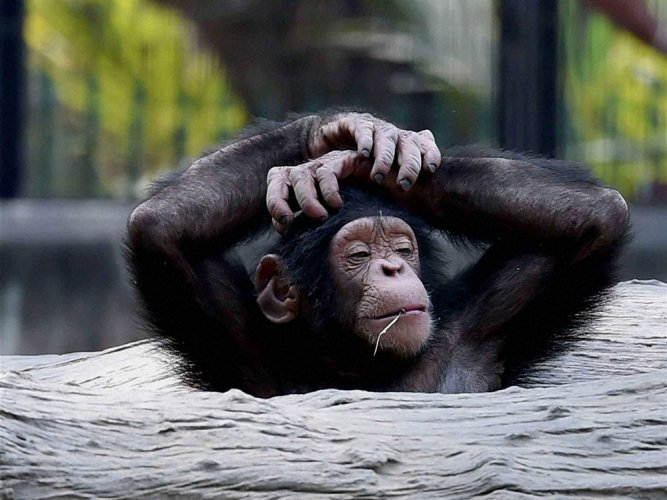 Forms of HIV can cross from chimps to humans: study