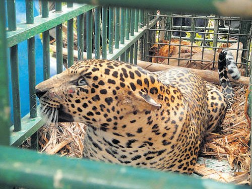 Leopard trapped