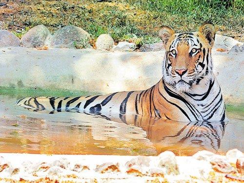 All states to adopt Karnataka's model of monitoring tigers | Deccan