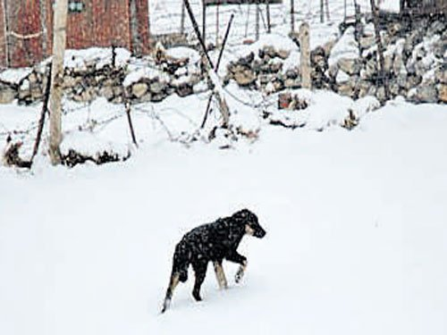 Feral dogs cause eco problems in Sikkim