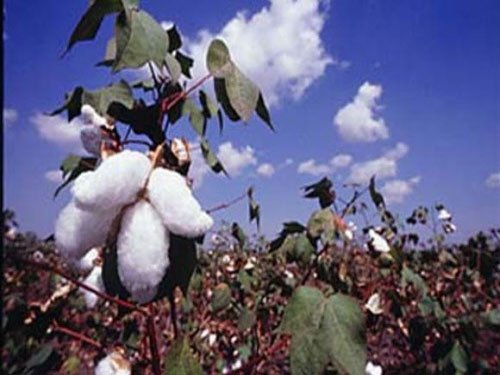 Govt rethinks on capping  price of Bt cotton seeds