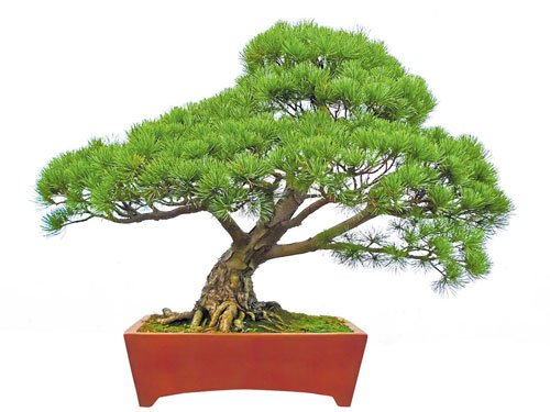 Make bonsai your home's best friend
