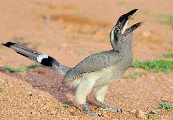 B'luru is still home to Indian grey hornbills