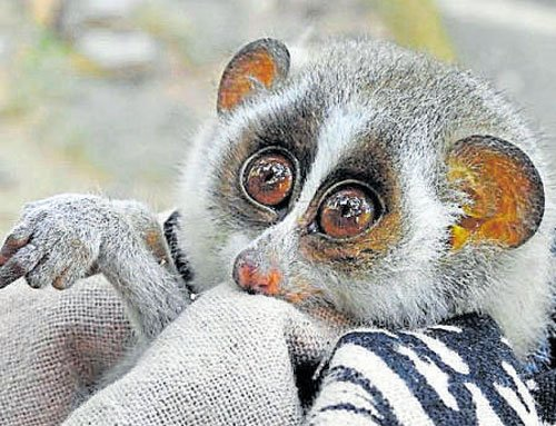 Slender loris rescued in Sadashivanagar