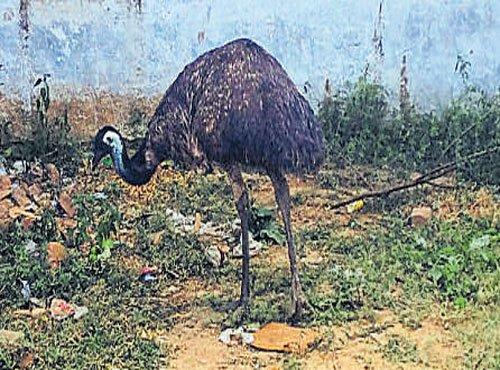 Strange bird charms villagers in Jaipur