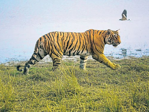 India records greatest number of tiger seizures: report