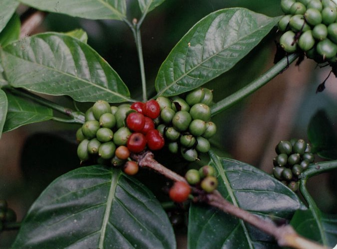 Coffee exports up 18.6% to 2.14 lakh tonnes in April-Oct