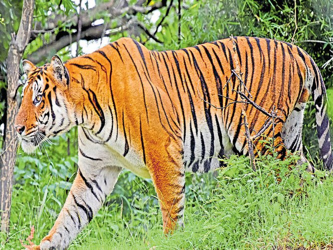 Karnataka lost 18 tigers in 2016, highest in the last seven years