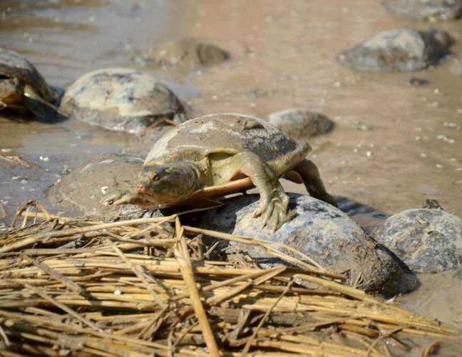6,400 smuggled turtles recovered