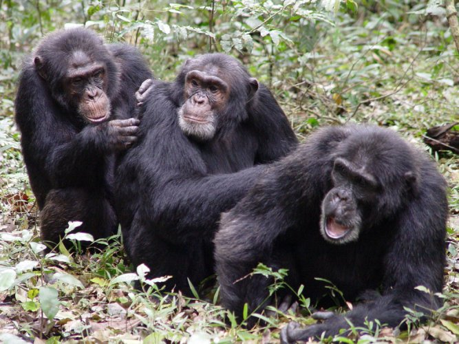 Chimps prefer genetically different mates: study
