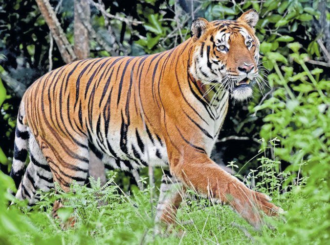 Tigers may roam again in Central Asia: study