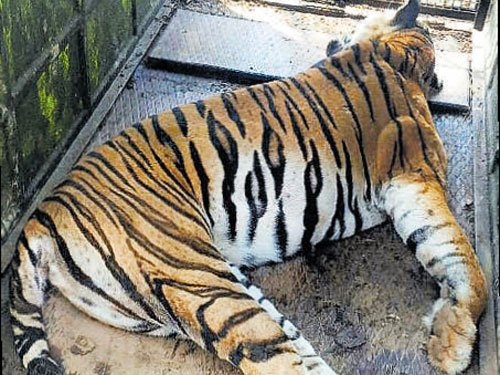 Forest officials botch up operation, tigress dies
