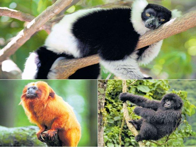 Primates face the threat of extinction