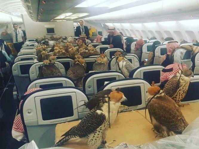 Saudi prince buys airplane seats to transport 80 falcons (Video)