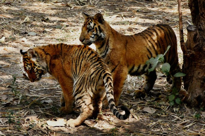 Three orphaned tiger cubs snuggle up to cuddly toy mum