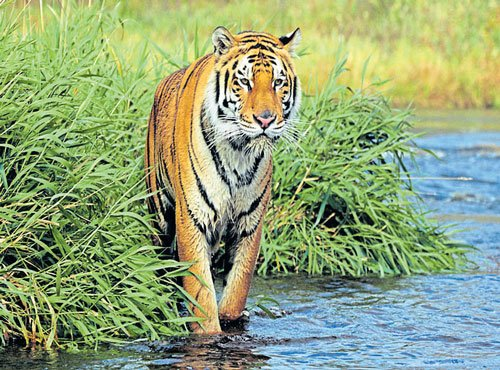 Tiger population up by 6%, need more measures to protect them: Experts