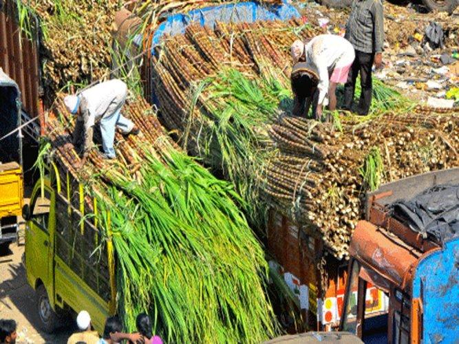 Sugar cane politics leaves bitter taste among farmers