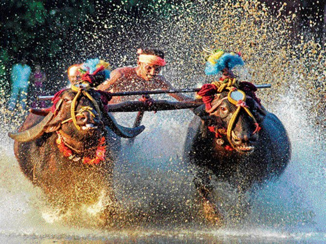 Bill to facilitate Kambala tabled in Assembly