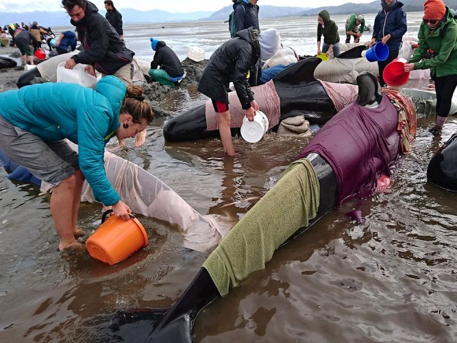 New Zealanders race to rescue whales after hundreds stranded