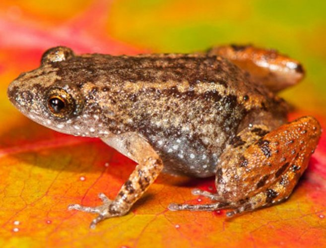 7 new miniature night frog species found in Western Ghats