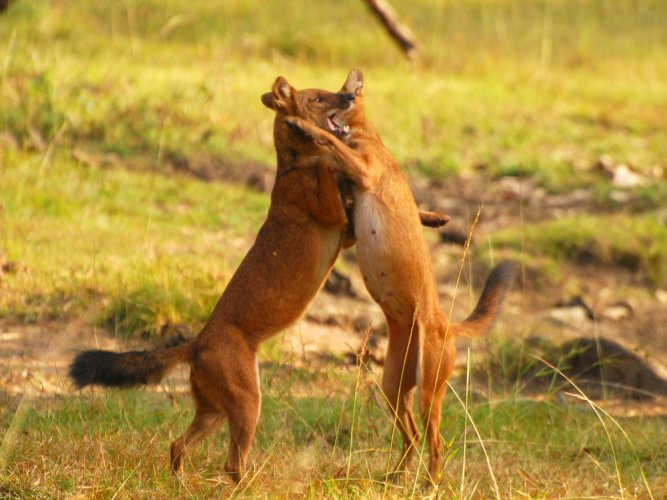 Researchers estimate range of movement of Asiatic wild dogs