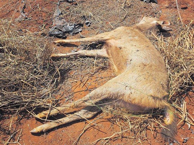 After Nagarhole, six deer found dead in BRT Reserve