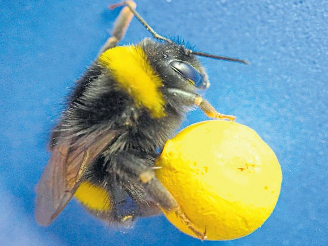 The power of the bumblebee brain