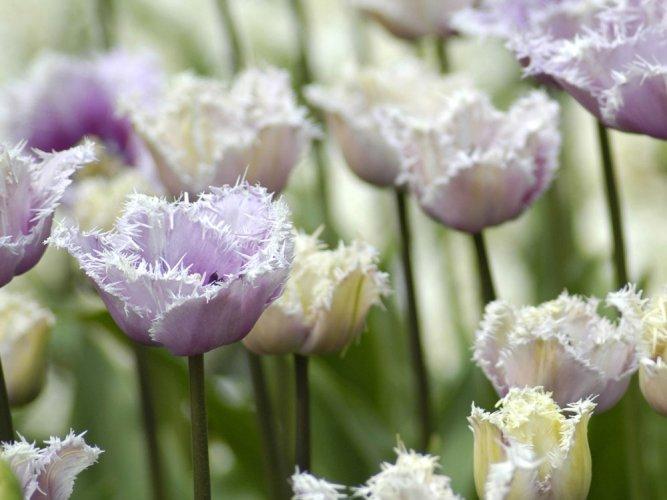 15-day mega tulip festival in Srinagar from April 1