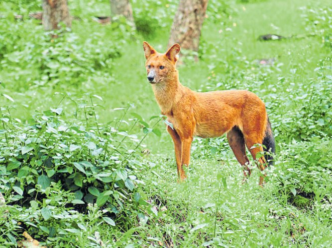 Camera-trap study shows dholes too have a home range