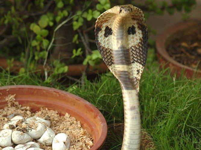 How cobras developed flesh-eating venom decoded