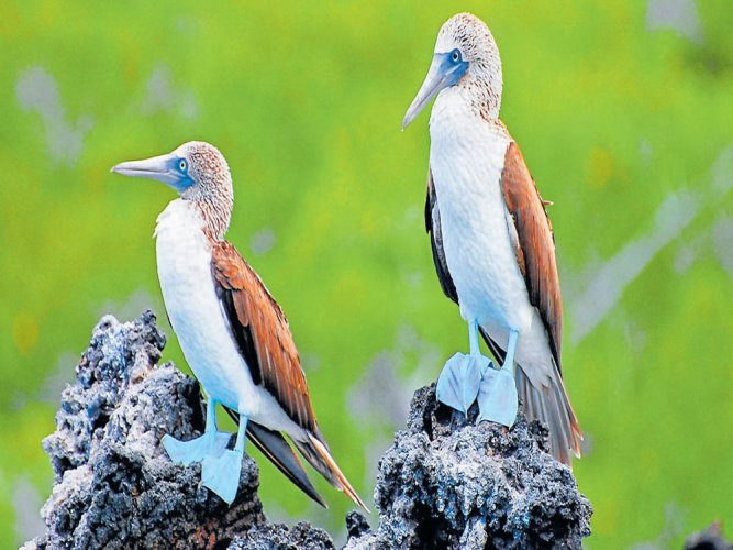 Revealing the blue-footed booby's true colours