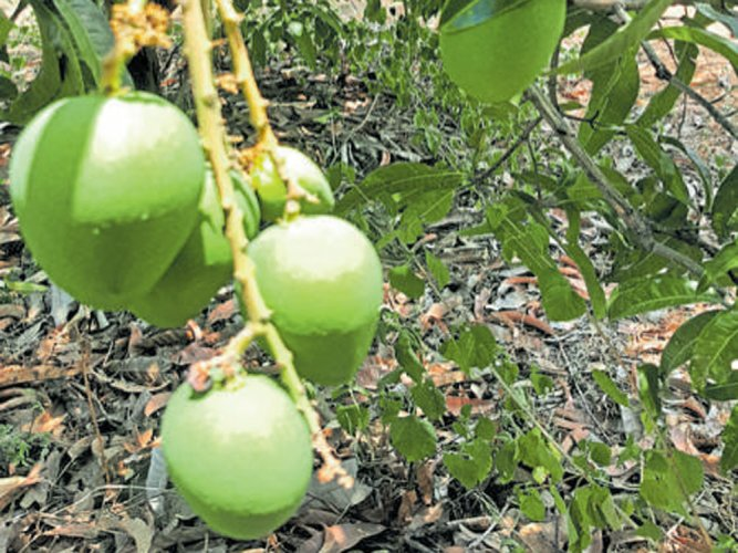 Rains hit 40% of state's Alphonso mango crop, production takes a hit