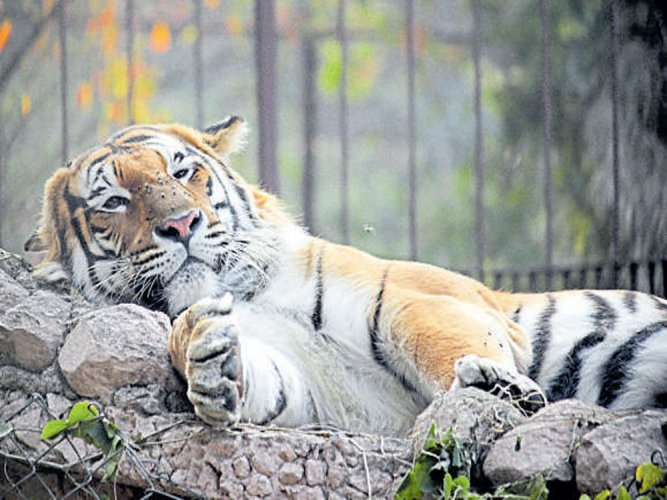 It's chicken for big cats in UP zoos