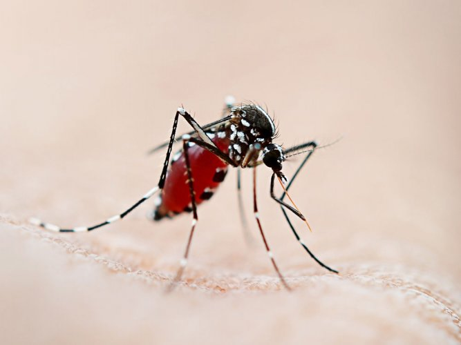The mosquito's ability to spot malaria pathogen