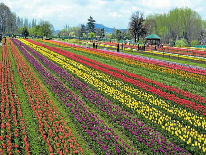 Asia's largest tulip garden open to tourists