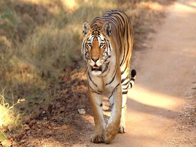 26 and counting: Pench tigress gives birth to another litter