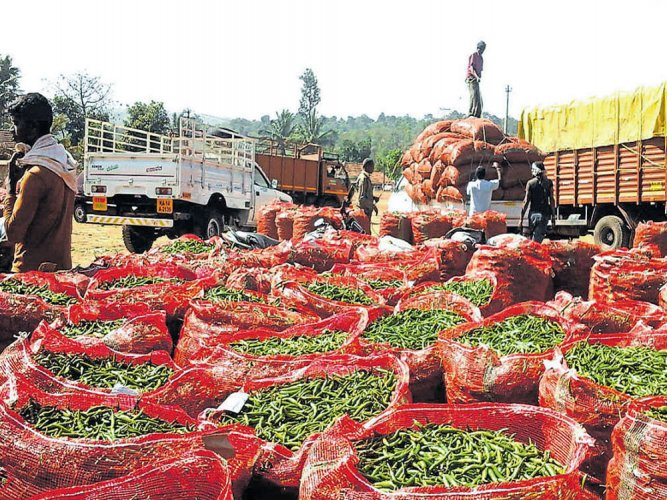 After fighting deficit rain, chilli farmers heave sigh of relief