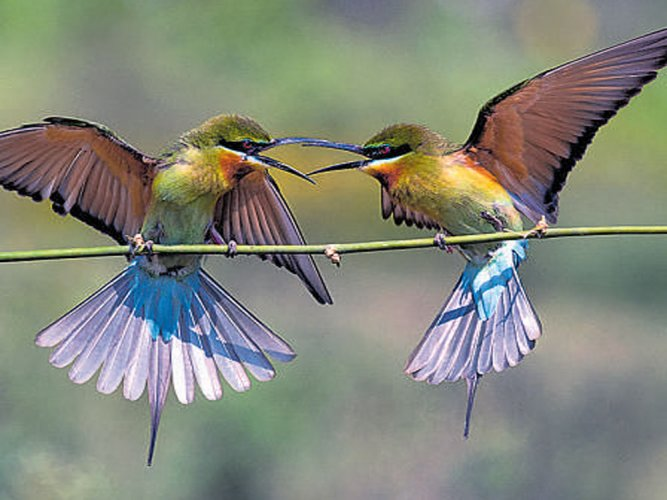 Declining numbers of Blue-tailed  bee-eater worry conservationists