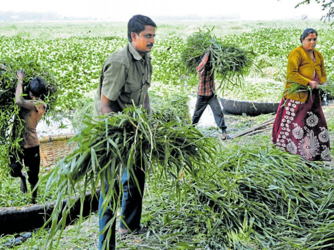 Cattle chew on fodder grown in polluted Bellandur lake