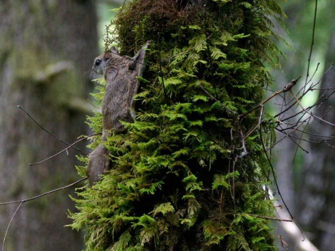 New species of flying squirrel discovered